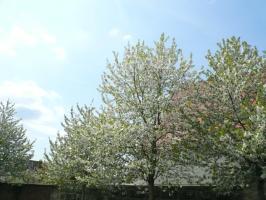 Einmütig um den Heiligen Geist bitten ist wie wenn viele Bäume miteinander blühen