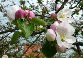 Das Innerste der Apfelblüte ist Schönheit, Licht, Fruchtbarkeit