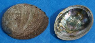 Innen- und Außenseite der Muschel