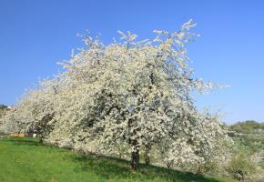 Blühender Kirschbaum Bild für die Fülle und Fruchtbarkeit des Lebens