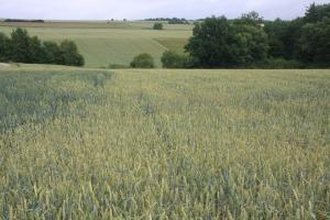 Weizenfelder in der Schnaider Flur