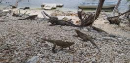 Leguane am See Enriquillo